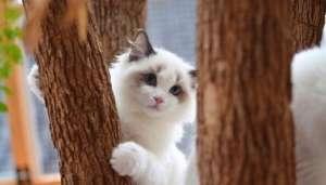 布偶猫剃毛有哪些步骤?剃毛的注意事项有哪些?